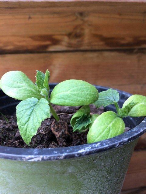 Små spirer der skal blive til store agurker