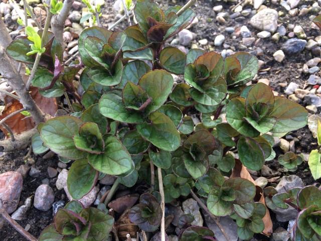 Krydderurter i haven - Mynte