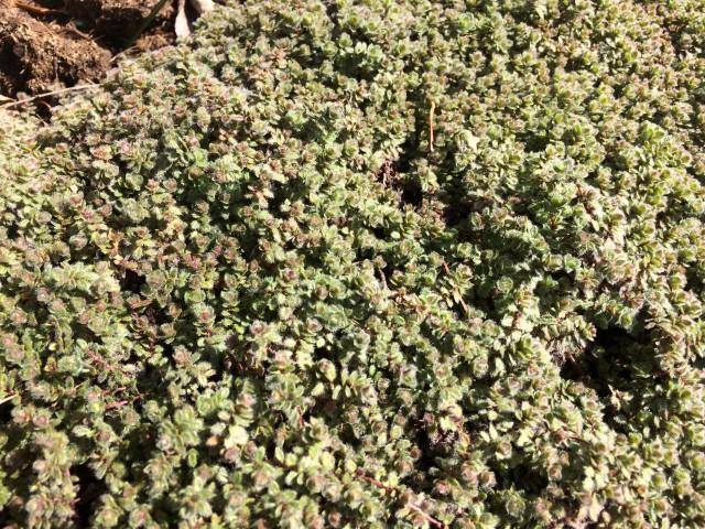 Krydderurter i haven - Timian