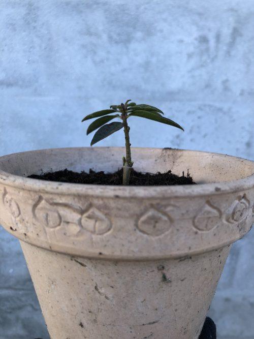 Stikling af planter